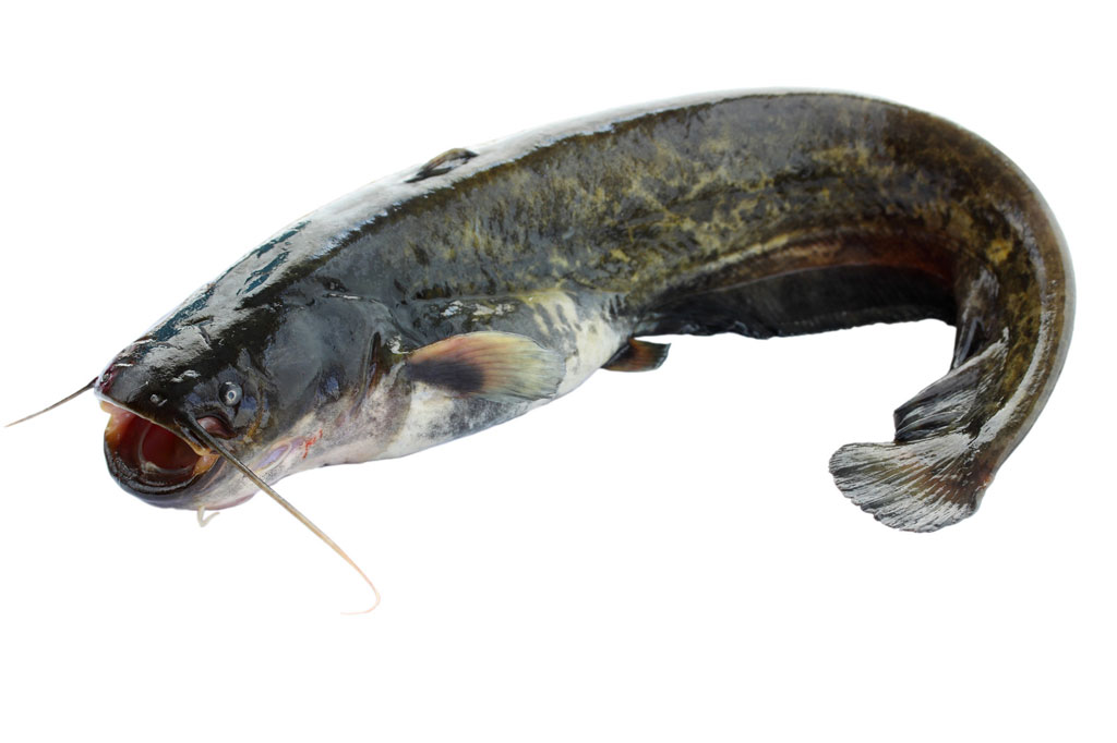 Catfish silurus glanis seta plus s r o for Fish without bones