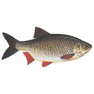 Rudd ( red-finned fish ) / Scardinius erythrophthalmus