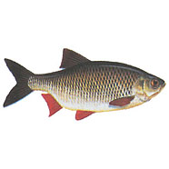 Rudd ( red-finned fish ) / Scardinius erythrophthalmus