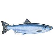 Salmon / Oncorhynchus keta /