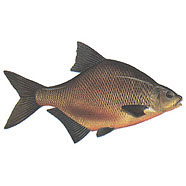 Bream / Abramis brama /