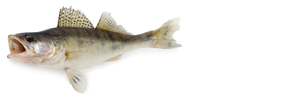 Pike – Perch